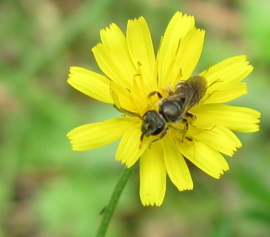 bee on crepis